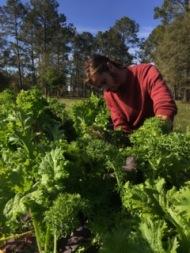 Cole harvesting mustards